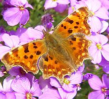 Comma Butterfly by jonAt