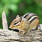 Little Chipmunk by Bine