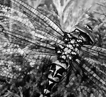 Dragonfly By by mydirigibleplum