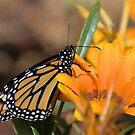 Sweet Orange by Donna Adamski