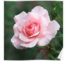 Pale Pink Rose Flower Bloom Poster
