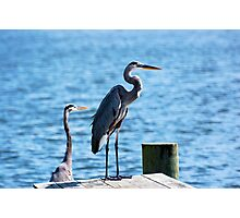 Two Great Blue Herons Photographic Print