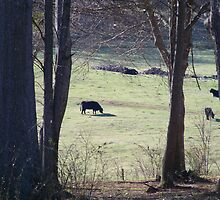 Cows in a pasture.. by KraZyGuy78
