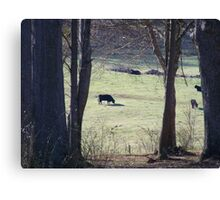 Cows in a pasture.. Canvas Print