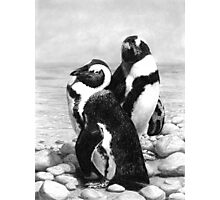 A Pair of Penguins - African Penguins Photographic Print