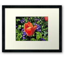 Just a Tulip Framed Print