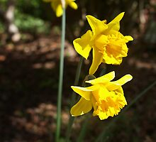 Daffodils by Norman Repacholi