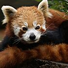 Red Panda by TerrieK