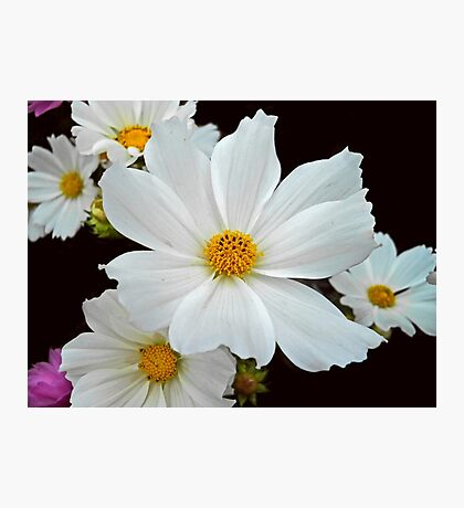 White Cosmos Photographic Print