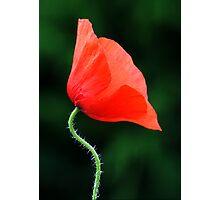 Poppy Nº 1 (papaver rhoeas) Photographic Print