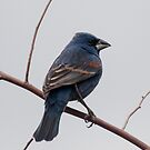 Blue Grosbeak  by barnsis