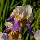 Wild Iris by WildThingPhotos