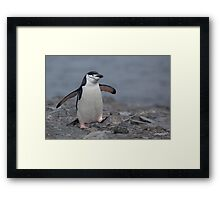 Chinstrap Penguin Framed Print