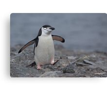 Chinstrap Penguin Canvas Print