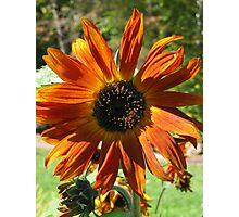Orange-Gold Sunflower Photographic Print
