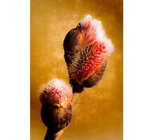 Willow buds - Thrust Of New Life Photographic Print