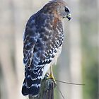 Red Shoulder Hawk by Irvin Le Blanc