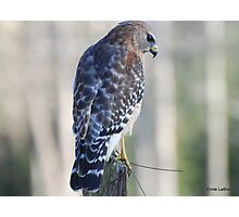 Red Shoulder Hawk Photographic Print
