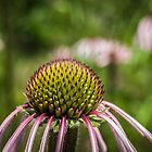 Beautiful Cone Flower by Thomas Young