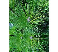 Lush Pine Photographic Print