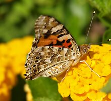 Butterfly on lantana flower by jean-louis bouzou