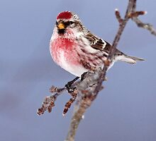 Common Redpoll by lloydsjourney