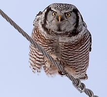 Northern Hawk Owl 2 by lloydsjourney