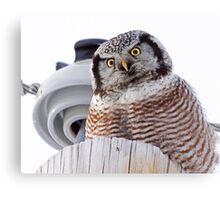 Northern Hawk Owl 3 Canvas Print