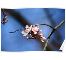 Blossom of a chinese cherry tree Poster