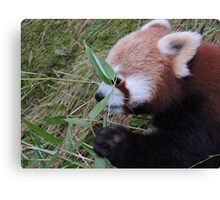 Little Bamboo, Little Panda Canvas Print