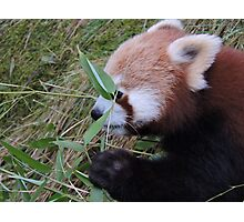 Little Bamboo, Little Panda Photographic Print