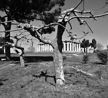 Paestum: trees and temple by Giuseppe Cocco