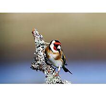 European Goldfinch - Carduelis carduelis Photographic Print