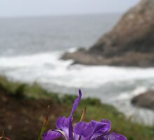 Wild Iris At Heceta Head  by CarrieAnn