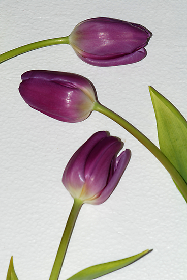 Purple Tulips by Barbara Manis