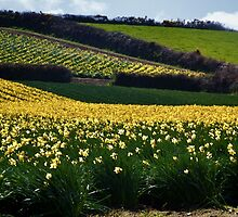 A Host of Golden Daffodils.... by lynn carter