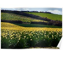 A Host of Golden Daffodils.... Poster