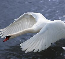 Swan taking off by (Tallow) Dave  Van de Laar