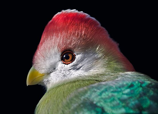 Red-Crested Turaco by Krys Bailey