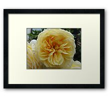 Beautiful yellow rose flower Framed Print