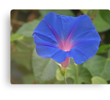 Morning glory flower... Canvas Print
