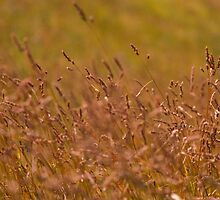Summer Gold by Patrick Bongers