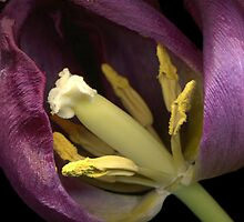 Tulip Up Close by TheWalkerTouch