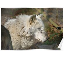 White Timber Wolf Poster
