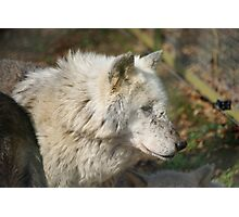 White Timber Wolf Photographic Print