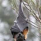 Grey-Headed Flying Fox by Lars