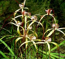 Spider Orchids by kalaryder