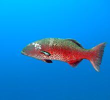 Red Sea Coral Grouper by cooperscuba