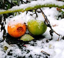 Tomatoes in the Snow by beebatch