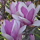 Saucer Magnolia Tree by Shaina Lunde